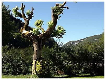 Camping du Signal arbre tortueux