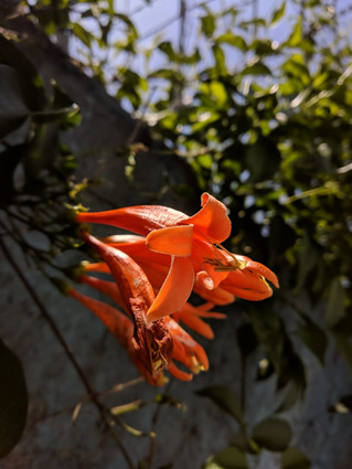Flor Laranja - Xioami Mia1 - Dual Camera