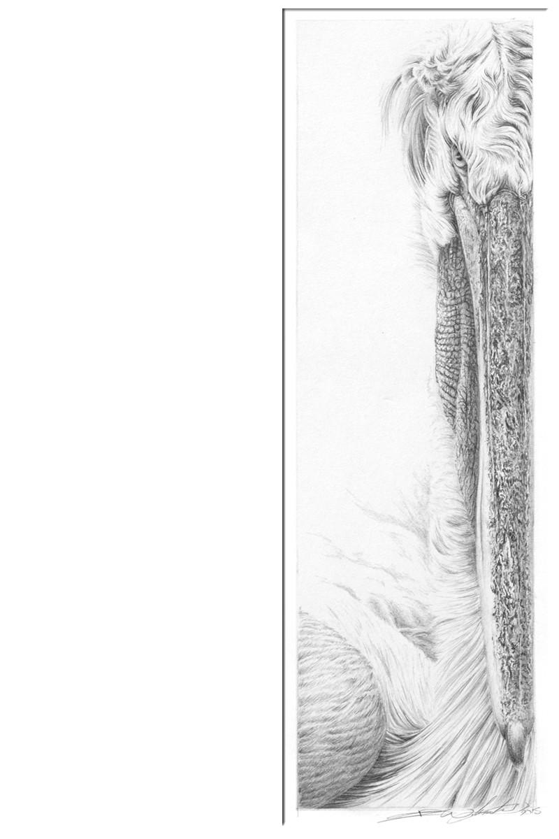 Pelican a.jpg