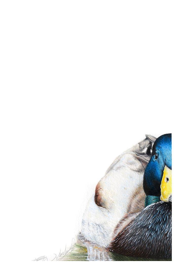 Malard Duck a.jpg
