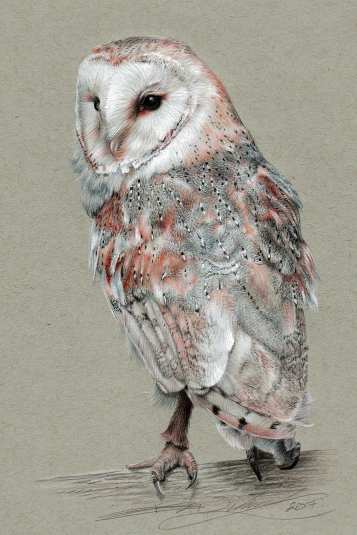 Barn Owl 6x4.jpg