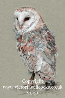 Barn Owl Victoria Willcocks