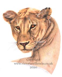Lioness Victoria Willcocks
