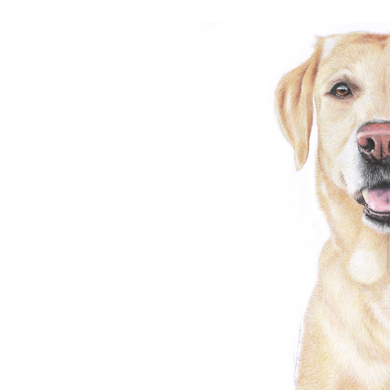 Yellow Labrador.jpg