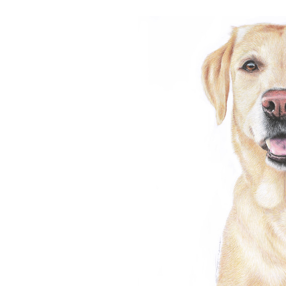 Yellow Labrador.jpg
