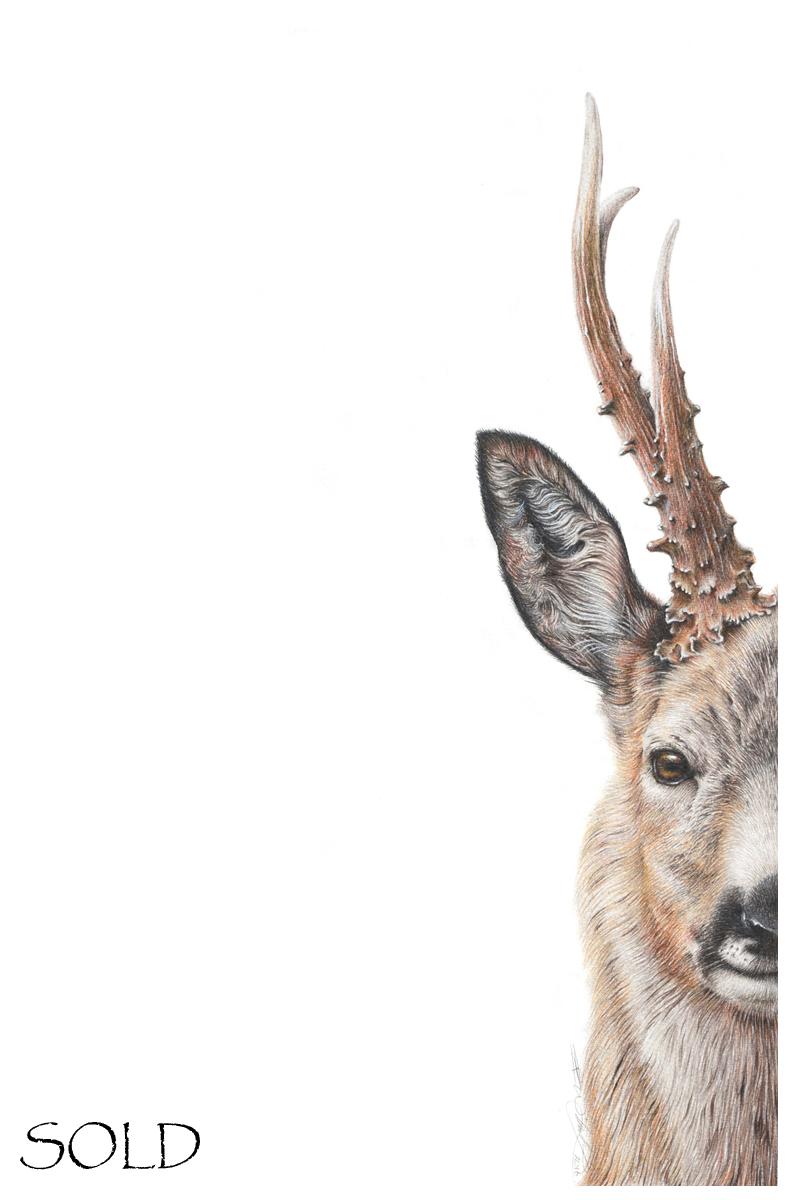 Roe Deer Buck s