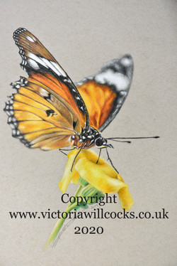 Butterfly Victoria Willcocks