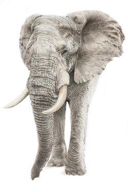 Elephant a