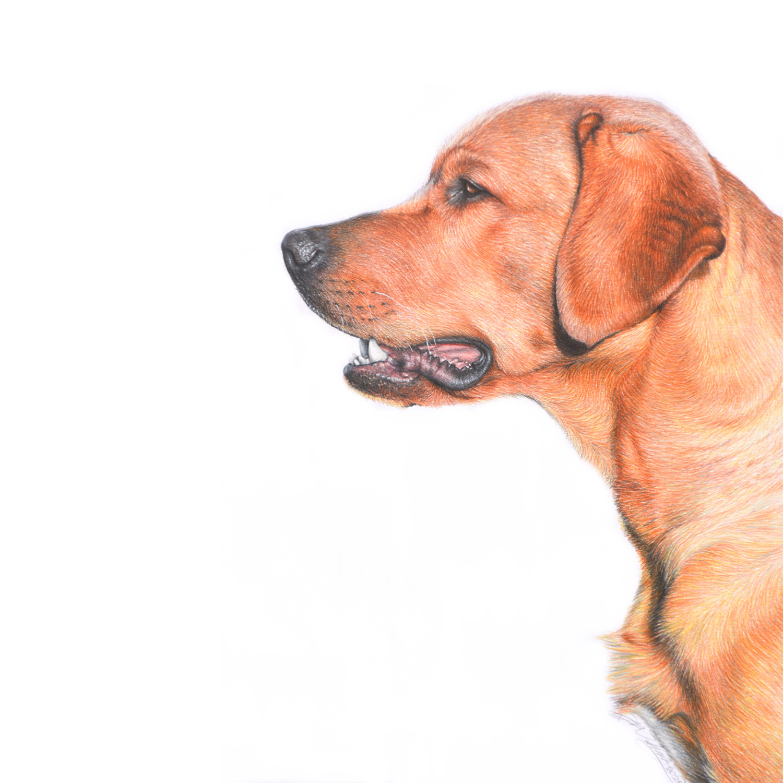 Fox Red Labrador.jpg
