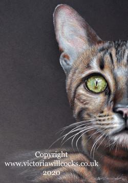 Bengal Cat Victoria Willcocks