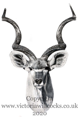 Kudu Victoria Willcocks