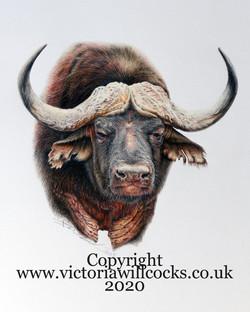Cape Buffalo Victoria Willcocks