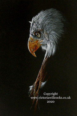 American Eagle on black Victoria WIllcoc
