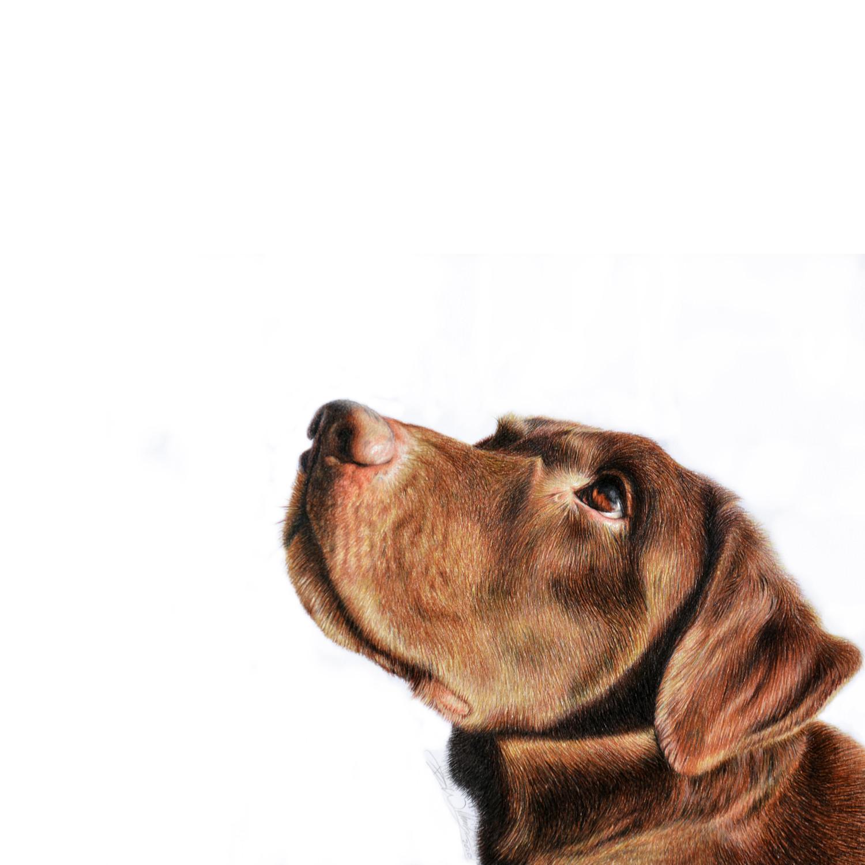 Chocolate Labrador.jpg