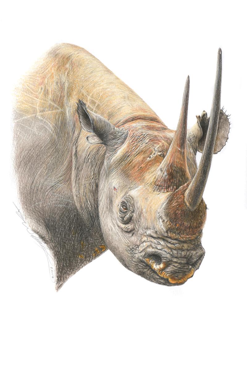 Black Rhino s