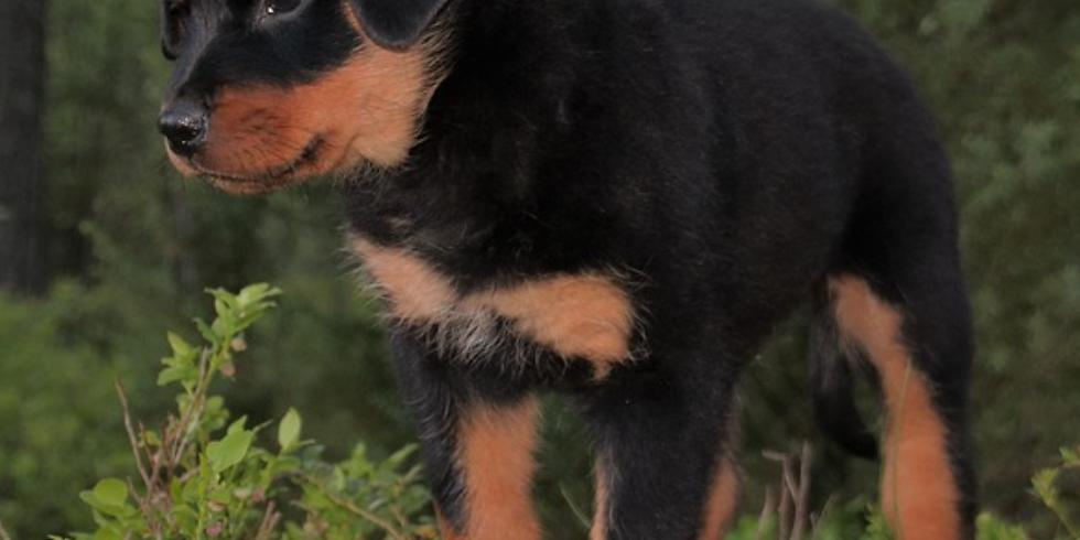 Social Puppy Walking Club - Monkstown Wood (23rd March)