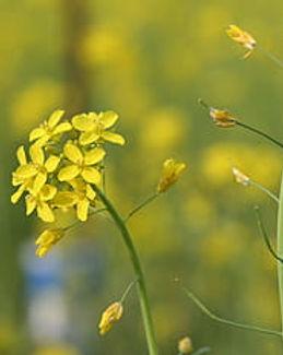 sinapis-aiba-mustard-flower-blossom-roya