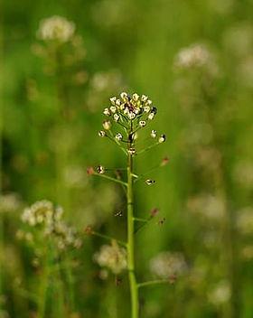 ordinary-shepherd-s-purse-plant-blossom-