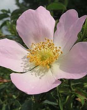 rosa-canina-dog-rose-blossom-macro-wildf