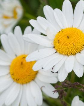 Oxeye daisies 7 (c) Gemma de Gouveia.jpg
