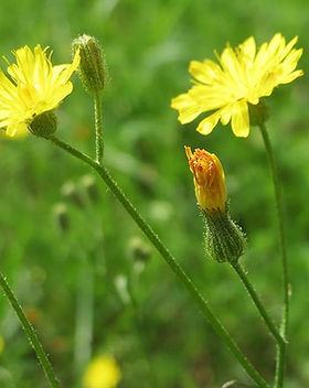 hypochaeris-radicata-catsear-flatweed-ca