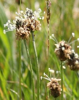 Ribwort_Plantain,_Derbyshire,_Philip_Pre
