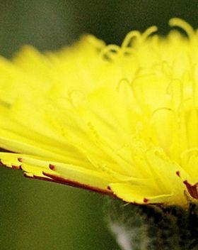 Mouse-ear hawkweed cpt Steve Chilton.jpg