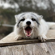 Cory the Marbled Red Fox