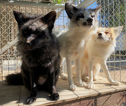 Boo, Nightwing, and Sugar the silver and marbled red fox siblings