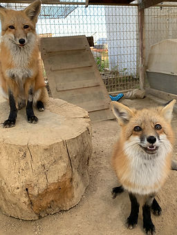 Autumn & Sassy the Red Fox sisters
