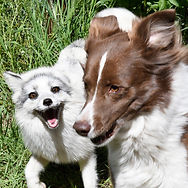 Cory the marbled red fox and star the border collie playing