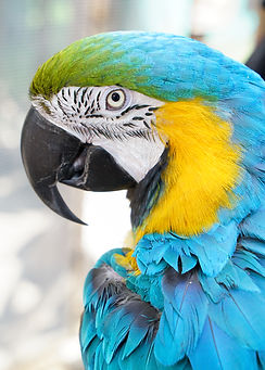 Sunny the Blue and Yellow Macaw