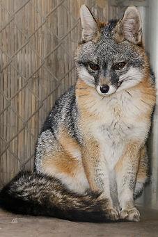 Fern the Gray Fox