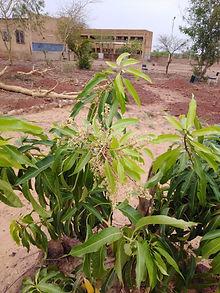 manguier en fleure éème production.jpg