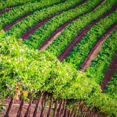Scheid Vineyards 140717-33.jpg