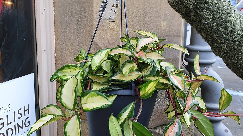 Hoya Tricolour
