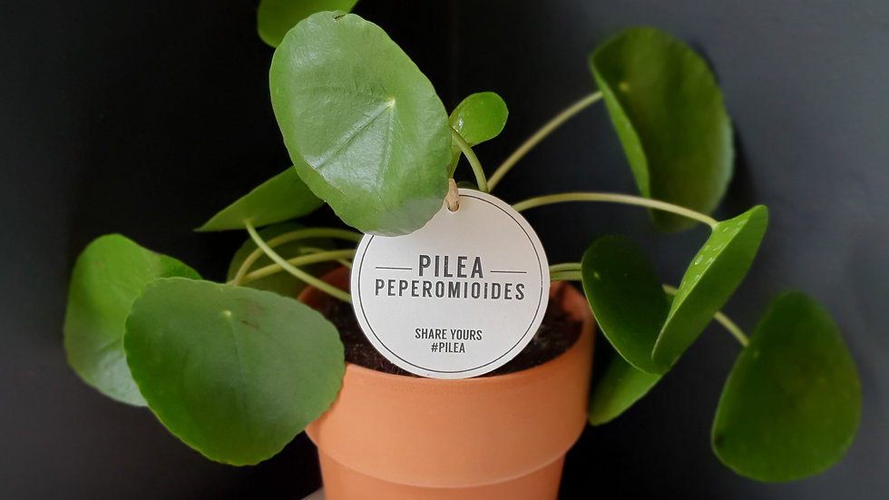 Pilea Peperomides in a Terracotta pot