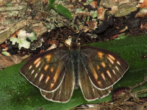 Lymanopoda zebra