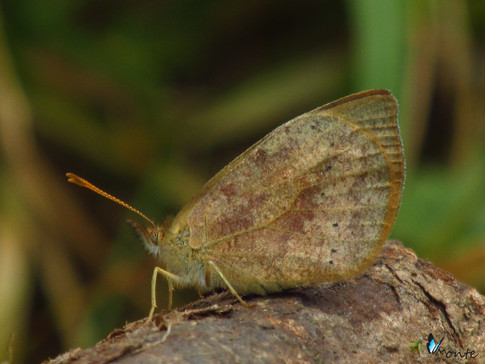 Lymanopoda schmidti