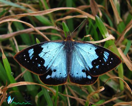 Lymanopoda samius