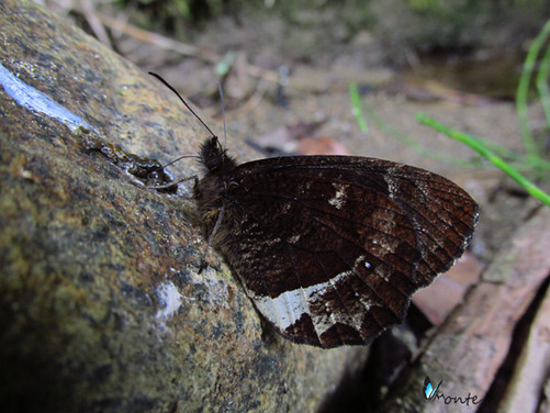 Pedaliodes phazania takahashii