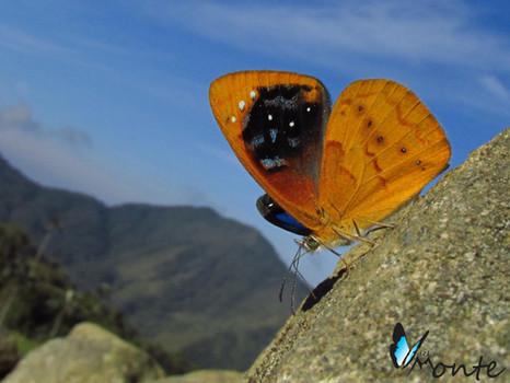 Lymanopoda caeruleata