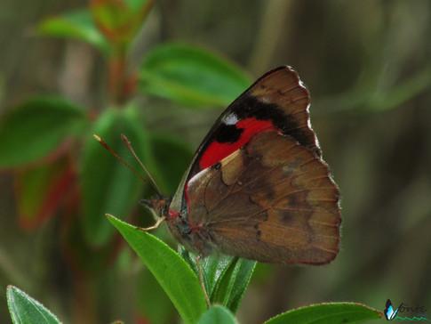 Orophila campaspe