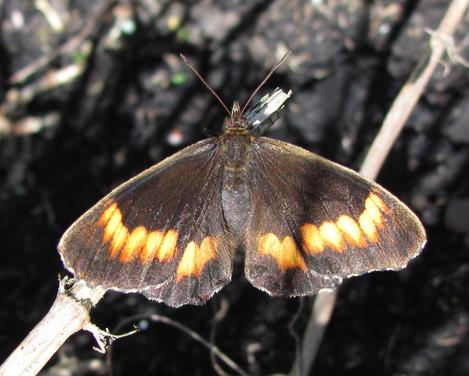 Pedaliodes boyacensis