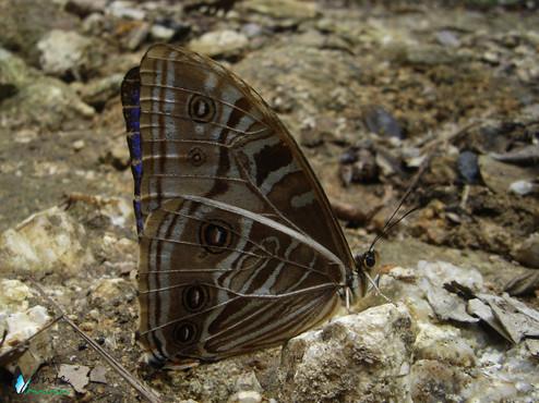 Morpho rhodopteron nevadensis