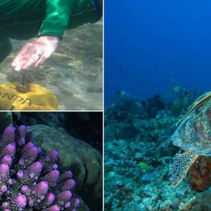 Высаживание и выращивание кораллов в The Oberoi Lombok.
