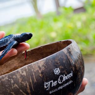 В The Oberoi Bali черепашье пополнение!