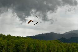 Malaysian Red Kite