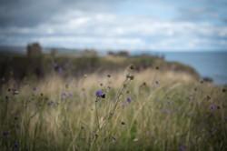 Wild purple at Dunnottar Castle