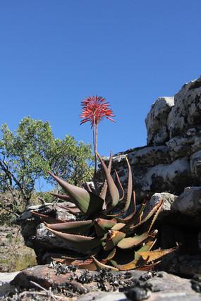 Aloe mitriformis Mill